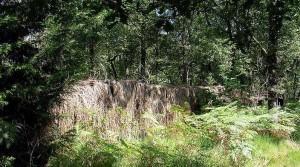 Une palombière en forêt des Landes